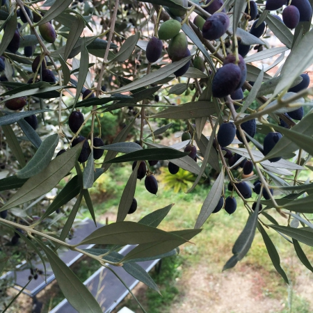 Chez Slowgarden / Marseille, South France. Olive tree.