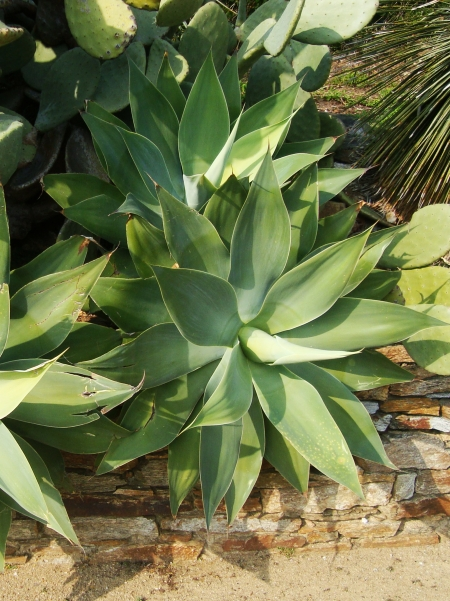 agave_attenuata_slowgarden_1.jpg