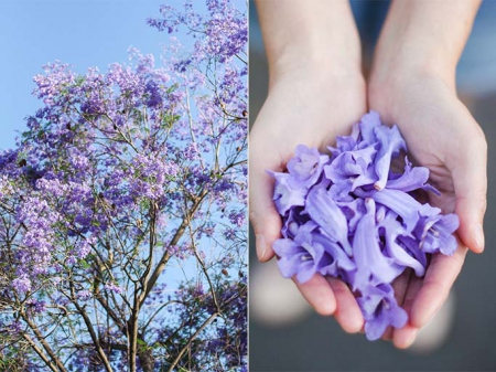 Jacaranda petals / The Vignette blog